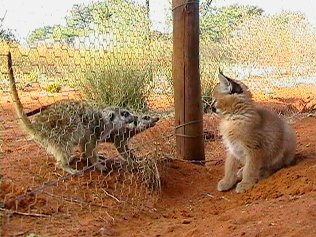 Caracals Kalahari Dream